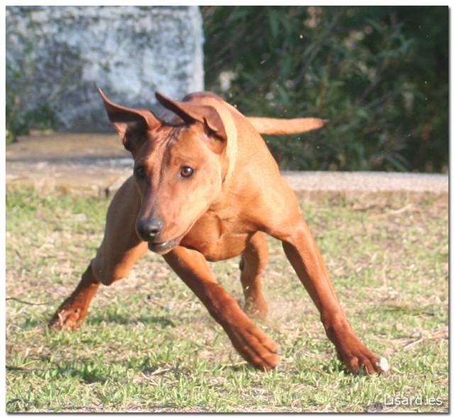 perro toro dog bull