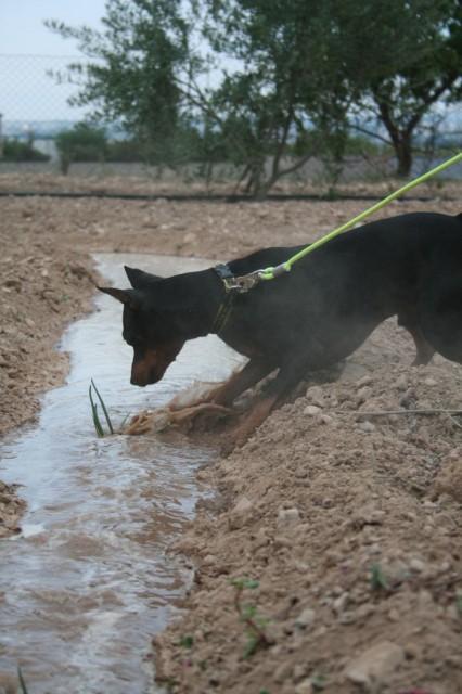 calsot-dog