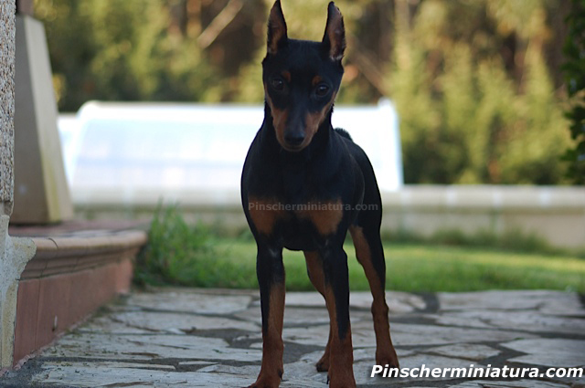 pinscher miniatura