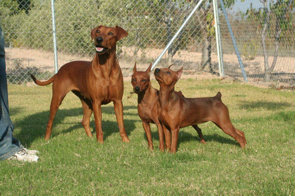 pinscher y pinscher miniatura