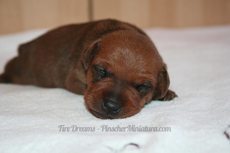 cachorros pinscher miniatura foto durmiendo