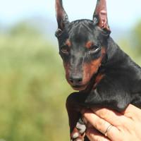 mini pinscher negro fuego cachorro