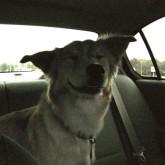 foto perro feliz asiento atras