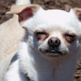 foto perro feliz chihuahua