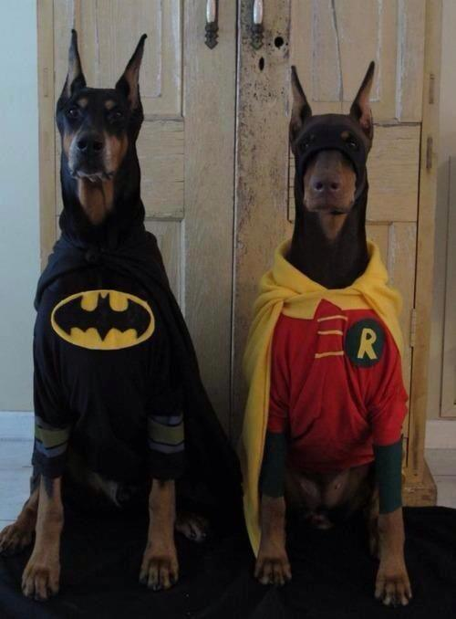batman y robin dog dobermann