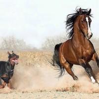 Dobermann vs Caballo