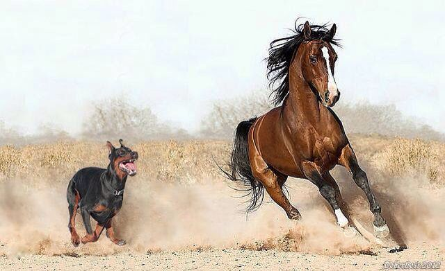 Dobermann vs Caballo