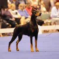 dobermann dog show
