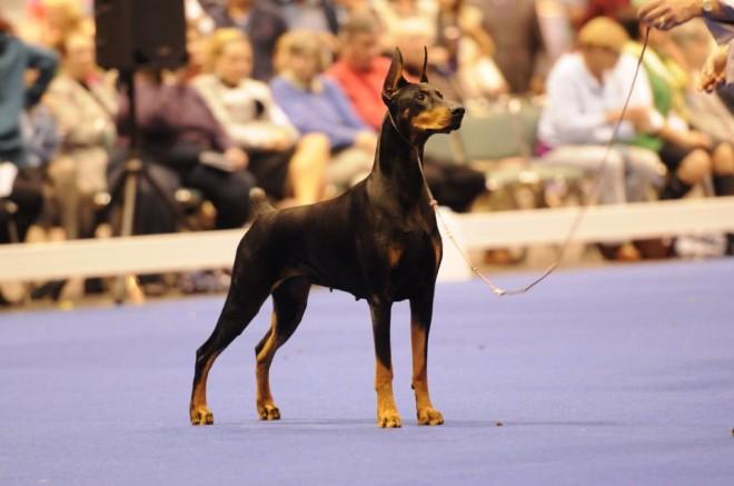 dobermann dog show