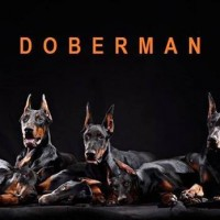 Dobermann apocalipsis