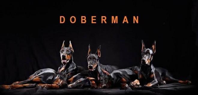 Dobermann apocalipsis
