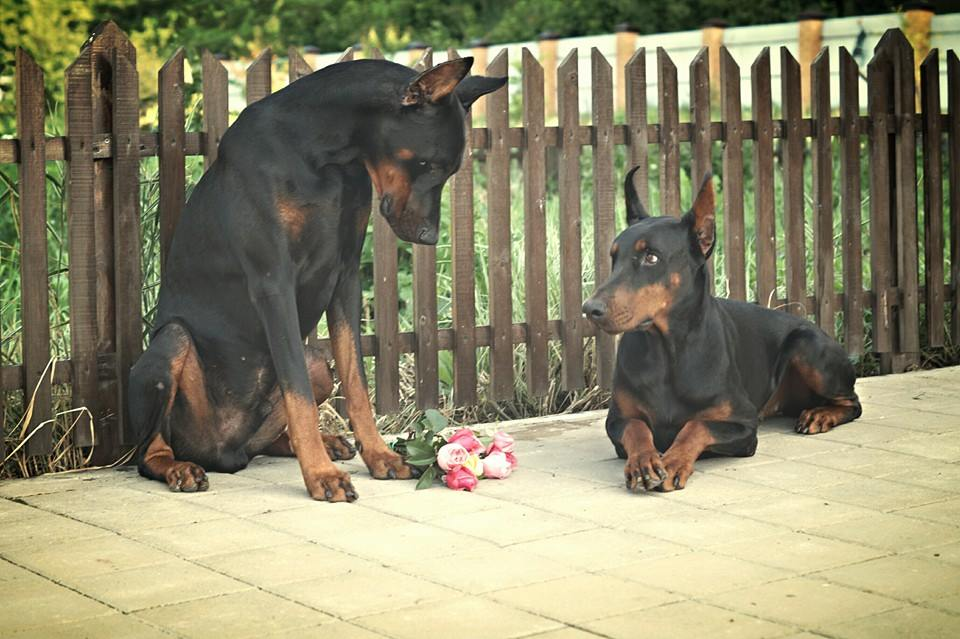 dobermann love