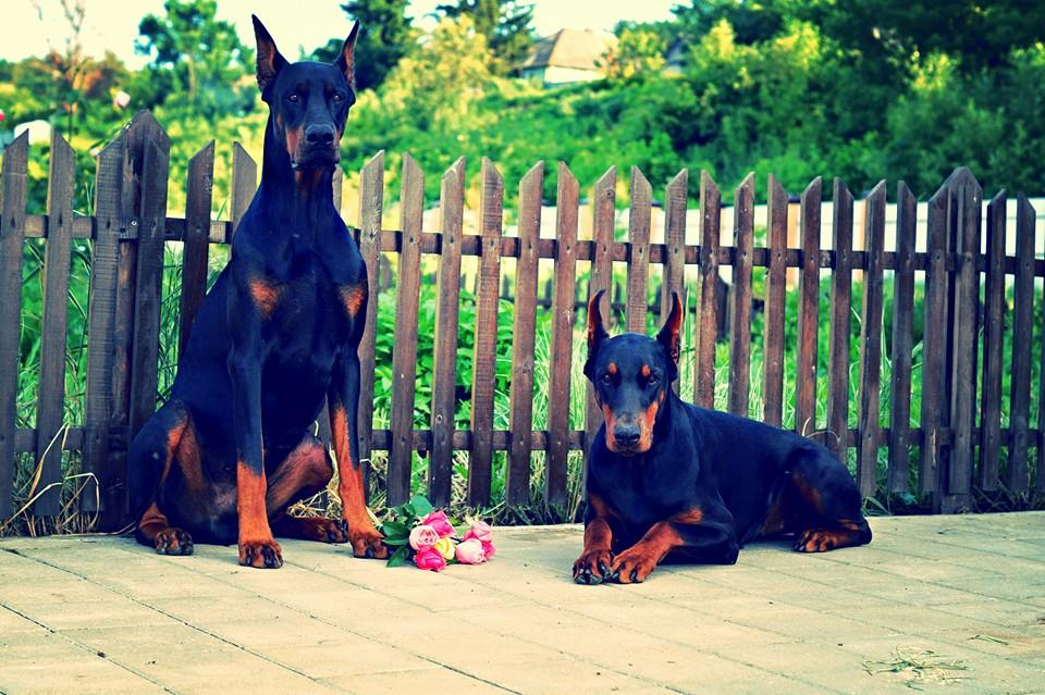 dobermann lover